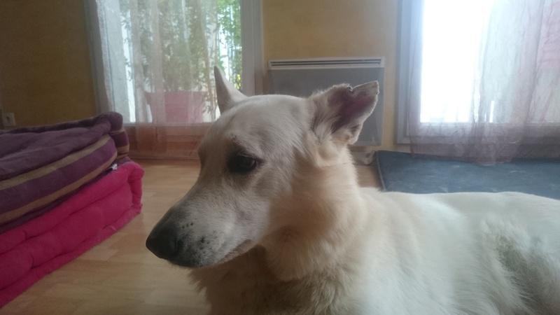 Mon chien a un Othematome ? - Page 2 Dsc_1010