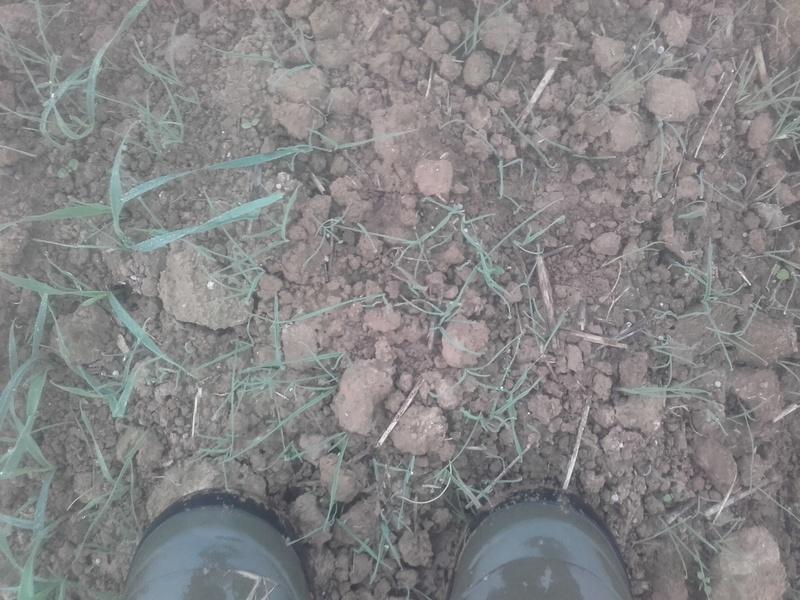 desherbage blé 20171026