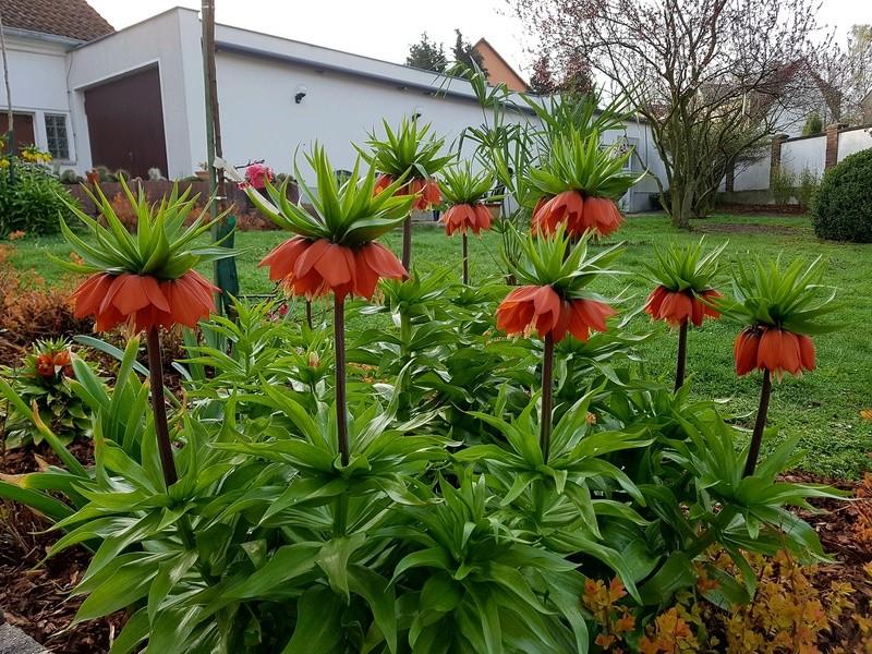 Erste Frühlingsboten im Garten und in Wald und Flur - Seite 65 20180427
