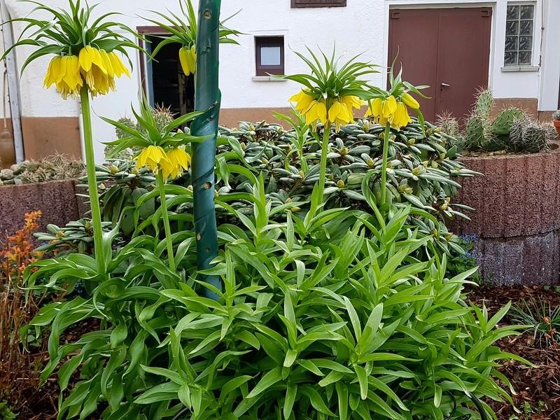 Erste Frühlingsboten im Garten und in Wald und Flur - Seite 65 20180428