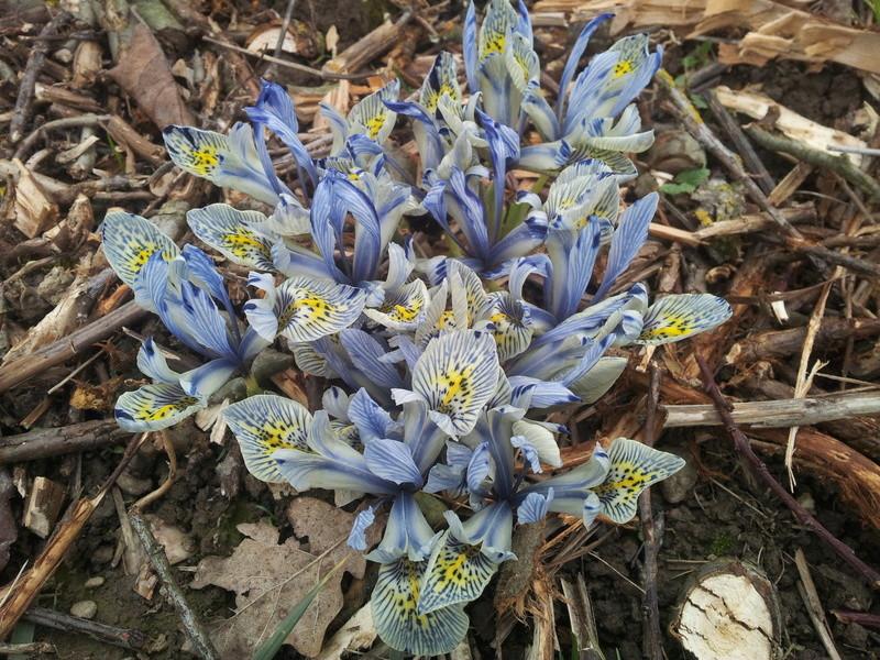 Iris reticulata - Page 6 20160116
