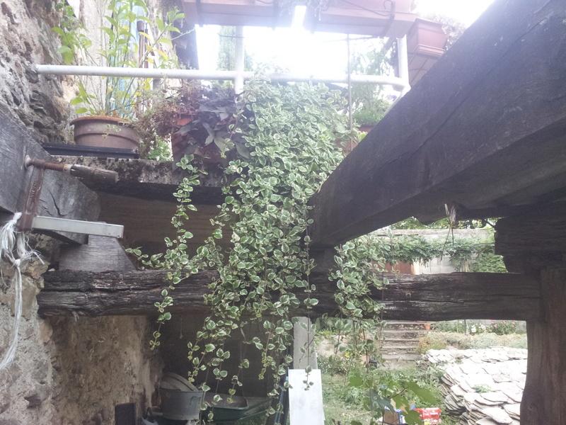 plectranthus coleoides variegata ou plectranthus glabratus  20170910