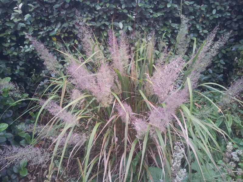 calamagrostis brachytrica ou stipa brachytrica ou herbe aux diamants 20171015