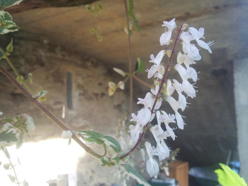 plectranthus coleoides variegata ou plectranthus glabratus  20171110