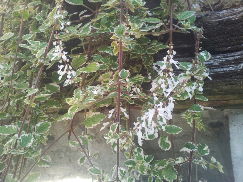 plectranthus coleoides variegata ou plectranthus glabratus  20171111