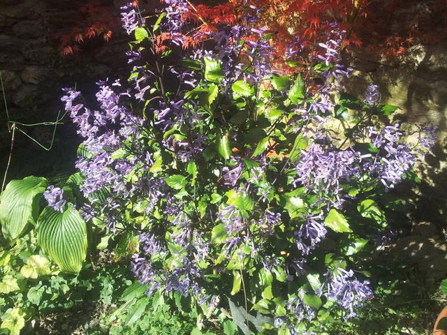 Plectranthus 'Mona Lavender' 20171112
