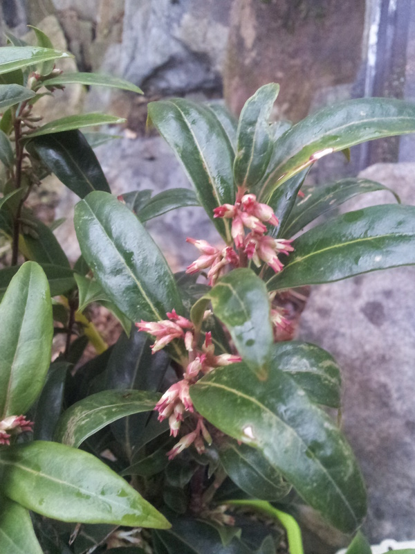 Le sarcococca - Page 2 20180111