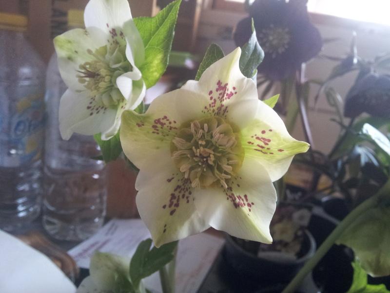Helleborus niger ou Rose de noel ou Hellebore - Page 32 20180215