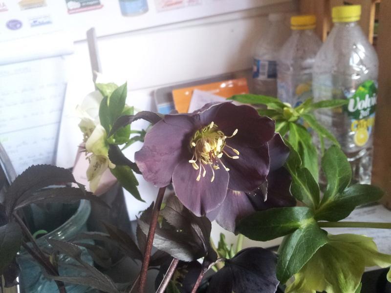 Helleborus niger ou Rose de noel ou Hellebore - Page 32 20180218