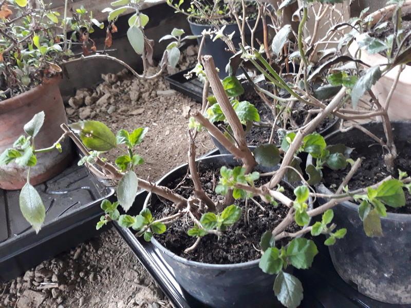 Plectranthus 'Mona Lavender' - Page 3 20180418