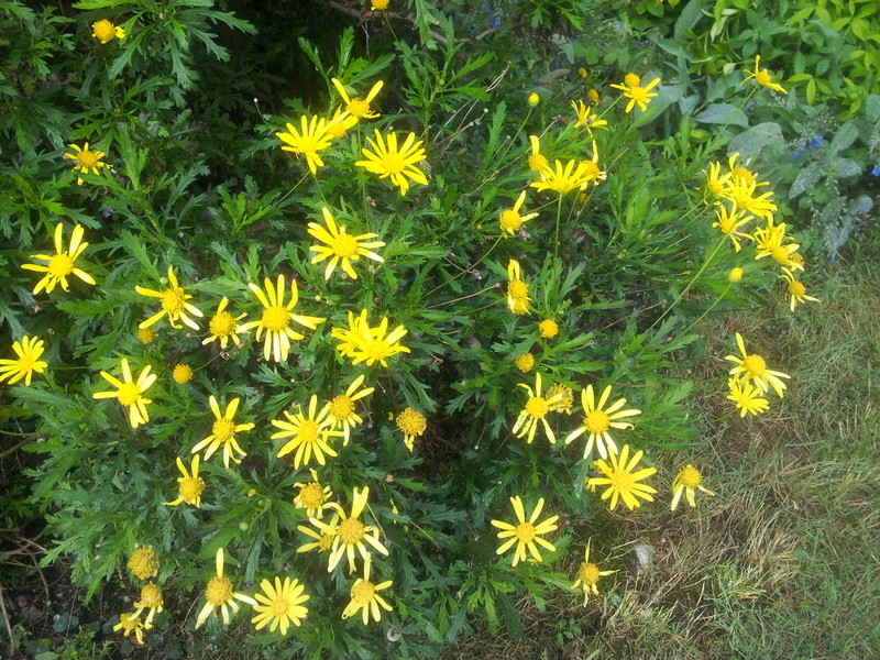 euryops chrysanthemoides  Euryop10