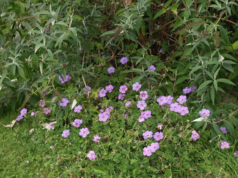 Geranium vivace  Havana10