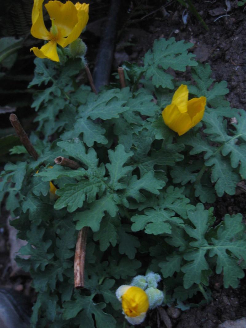 stylophorum diphyllum ou pavot des bois Img_2717