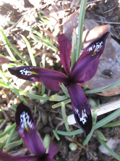 Iris reticulata - Page 3 Iris_g12