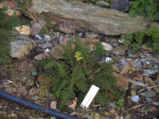 corydalis cheilanthifolia P3095310