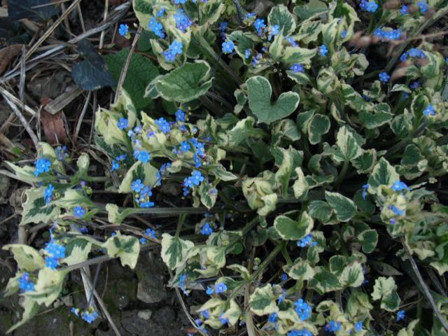 brunnera macrophylla ou myosotis du caucase P3225410