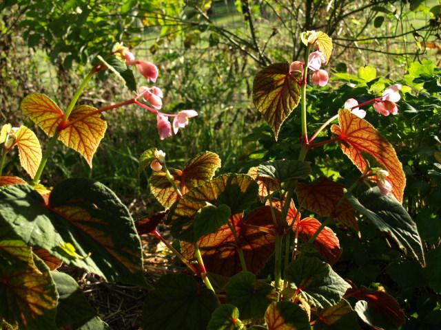 begonia grandis P9082614