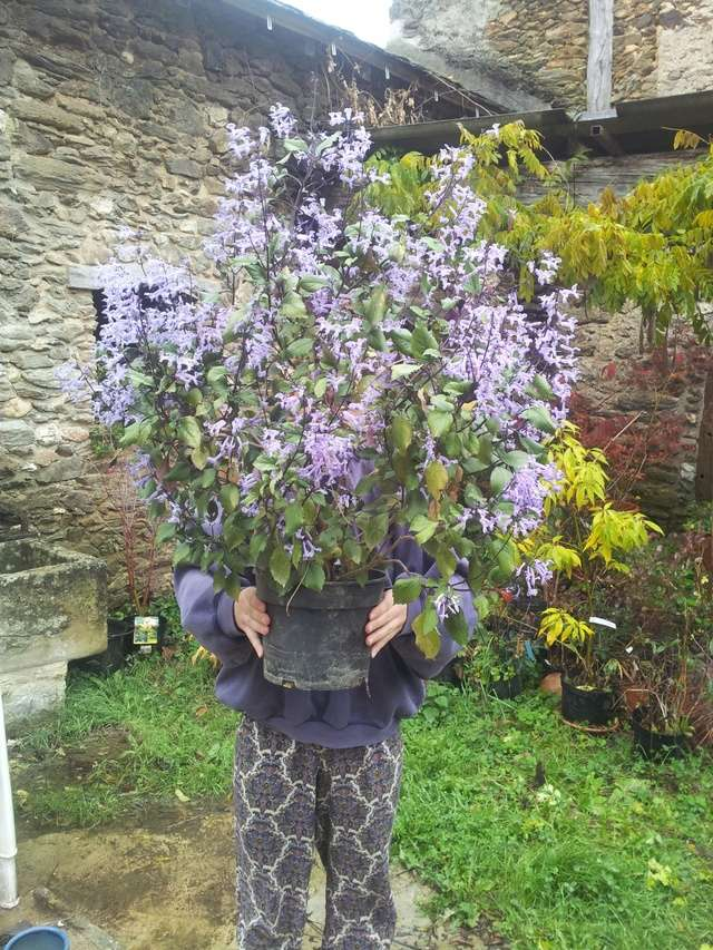 Plectranthus 'Mona Lavender' - Page 2 Plectr10