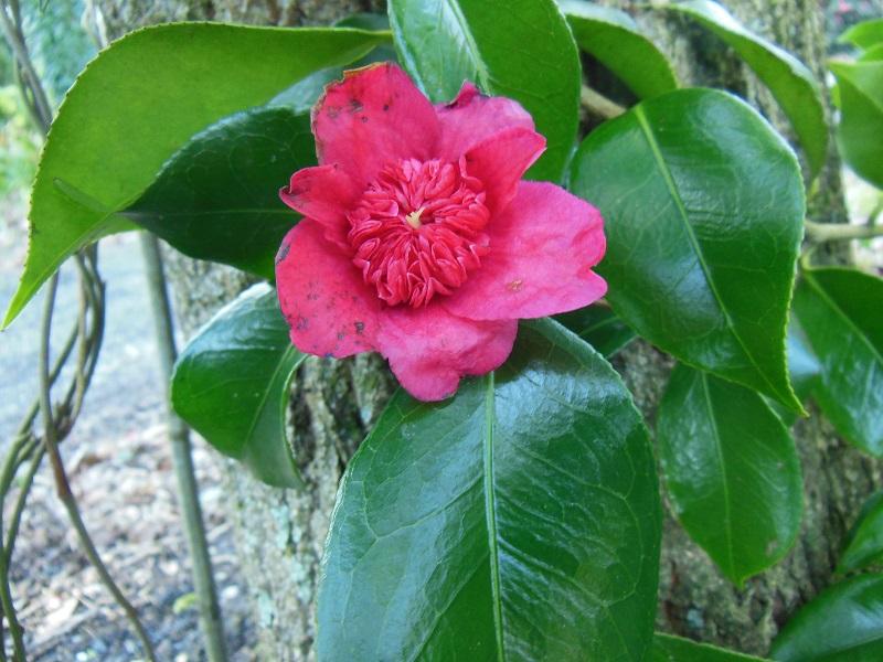 Camellia 2018 Anemon10