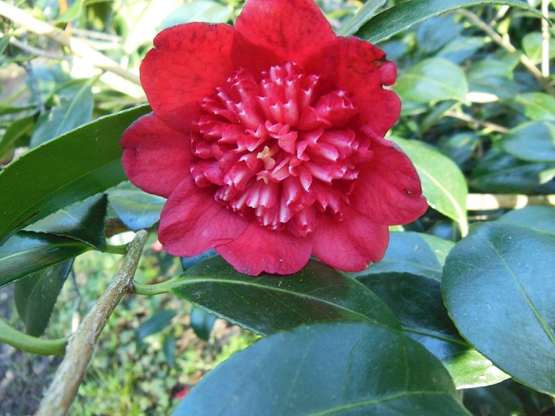 Camellia 2018 Bob_s_10