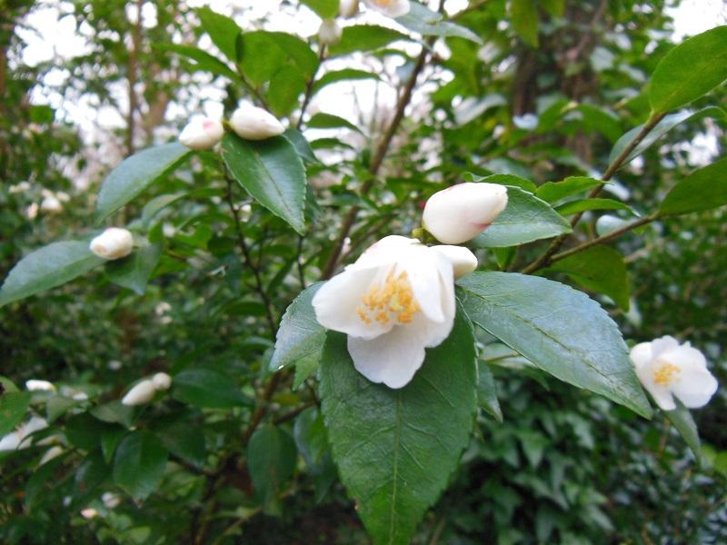 Camellia 2018 Bot_410