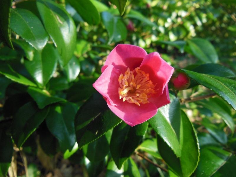 Camellia 2018 Petite10