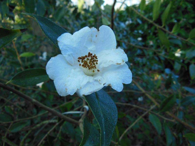 Camellia 2018 Petite11