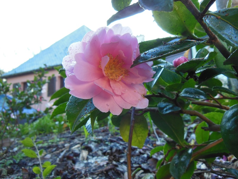 Camellia 2018 Petite12