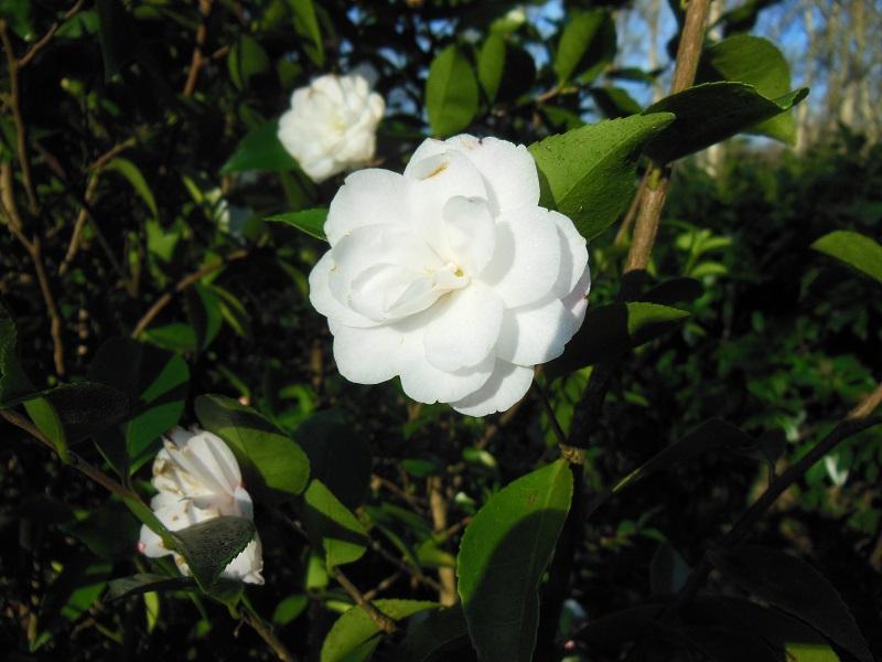 Camellia 2018 Petite14