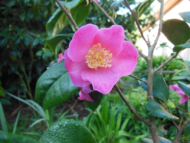Camellia 2018 Petite15