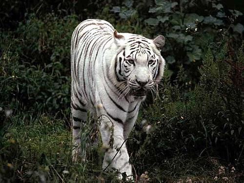 Cap de Kevandir Tigre-10