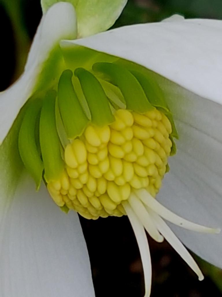 Hahnenfußgewächse (Ranunculaceae) - Winterlinge, Adonisröschen, Trollblumen, Anemonen, Clematis, uvm. - Seite 8 20171221