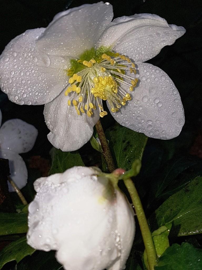 Hahnenfußgewächse (Ranunculaceae) - Winterlinge, Adonisröschen, Trollblumen, Anemonen, Clematis, uvm. - Seite 8 20180130