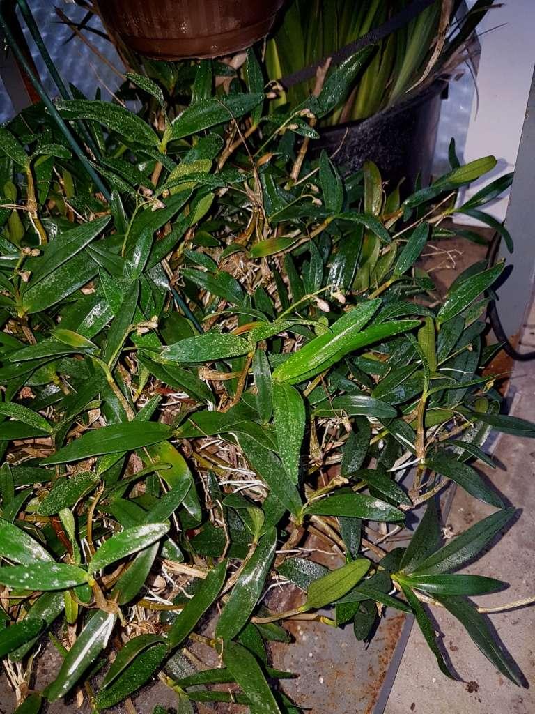 Orchideen 3 (fortlaufende Seiten 300 bis 400) - Seite 2 Dendro10