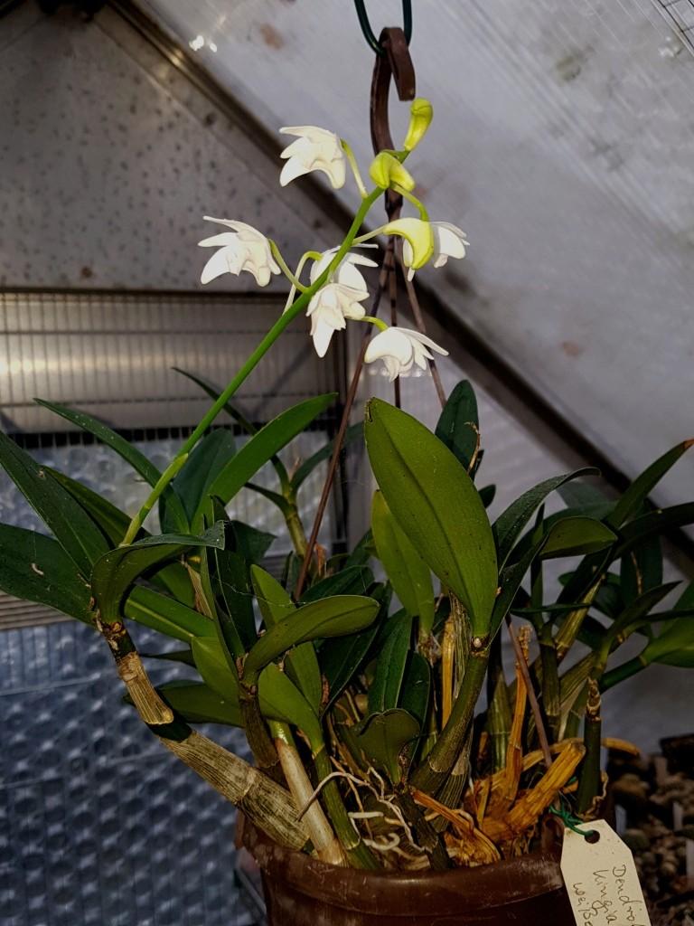 Orchideen 3 (fortlaufende Seiten 300 bis 400) - Seite 2 Dendro12