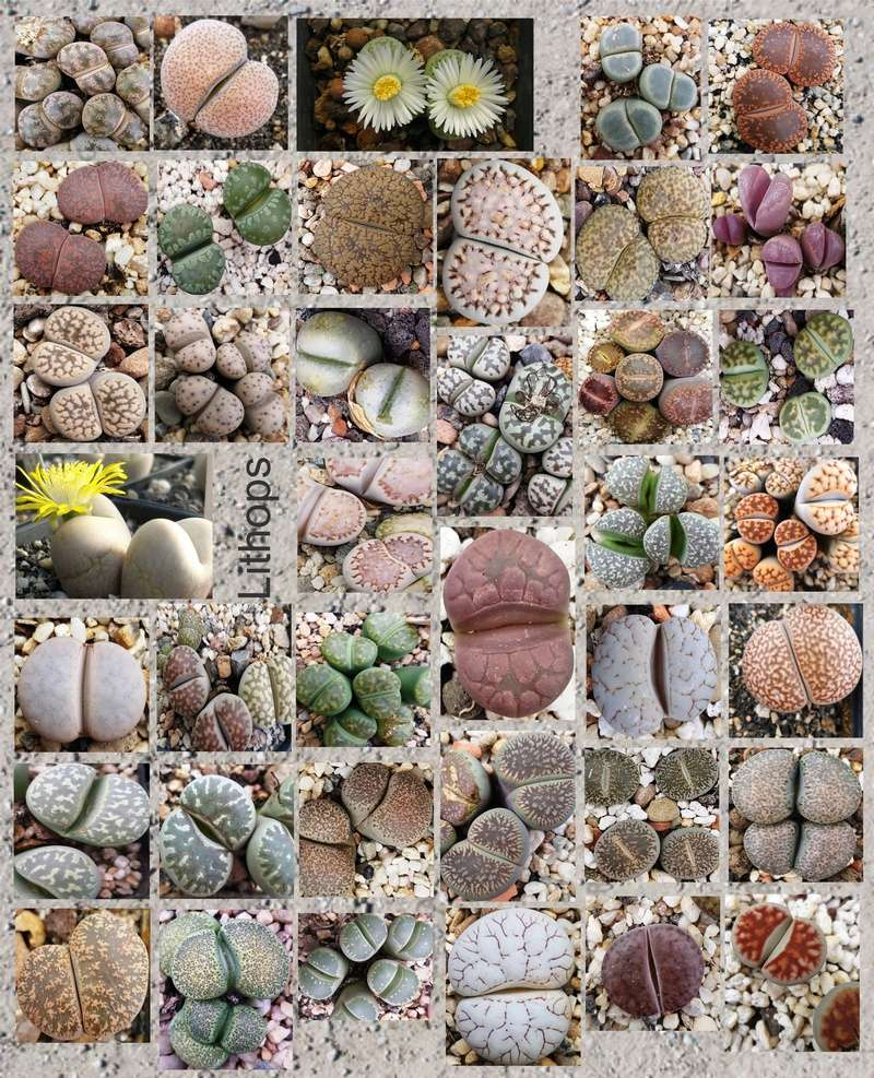 Kakteenforum - Portal Lithop24