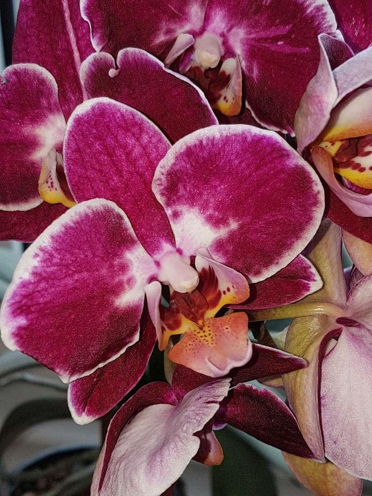 Orchideen 3 (fortlaufende Seiten 300 bis 400) - Seite 20 Phalae13
