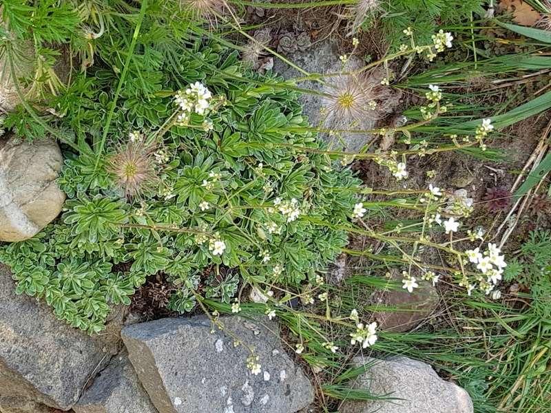 Hang- und Steingartenpflanzen - Seite 29 Saxifr13