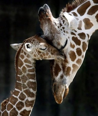 Photos de famille Girafe10