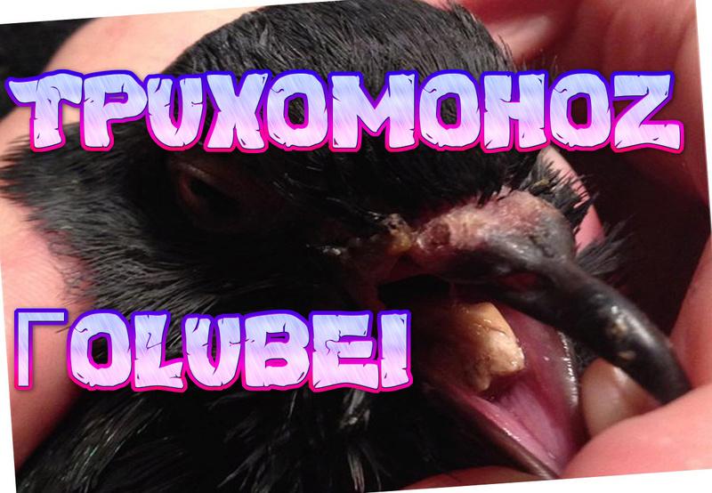 Трихомоноз голубей 121_aa10