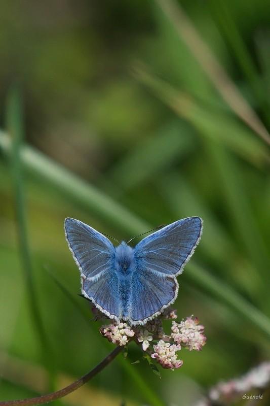 Argus bleu Breton 1 Argus_11