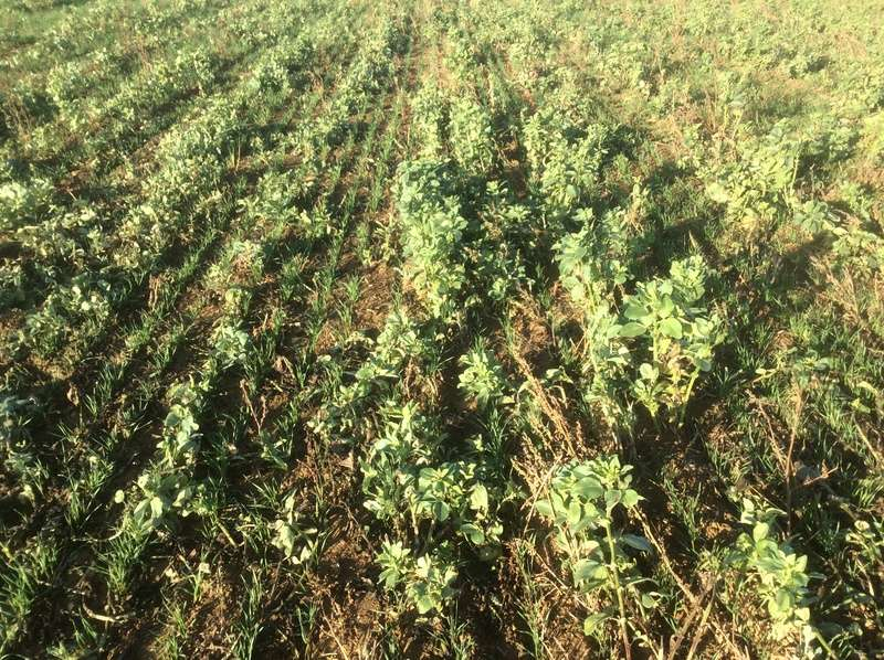 Semis de blé dans des repousses de féveroles - Page 3 Img_1412