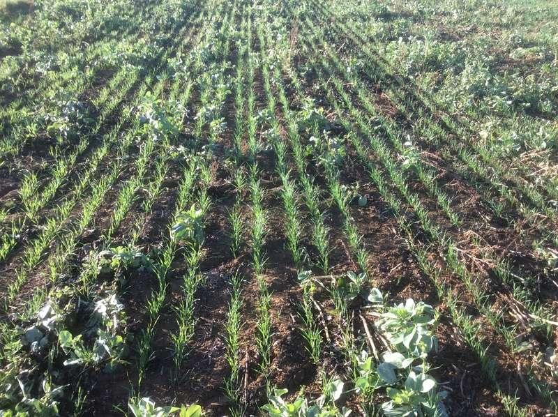 Semis de blé dans des repousses de féveroles - Page 3 Img_1413