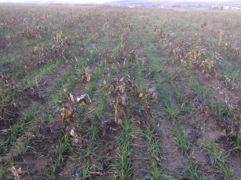 Semis de blé dans des repousses de féveroles - Page 3 Img_1511
