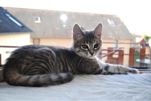 Nikita, femelle européenne tigrée gris , née le 13 juillet 2017 - Page 2 Dsc_0021
