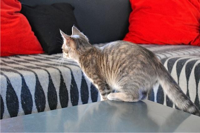 Nikita, femelle européenne tigrée gris , née le 13 juillet 2017 - Page 3 Dsc_0028