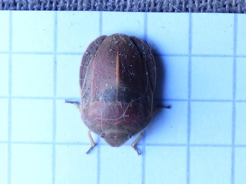 [Eurygaster austriaca] Eurygaster austriaca Euryga10