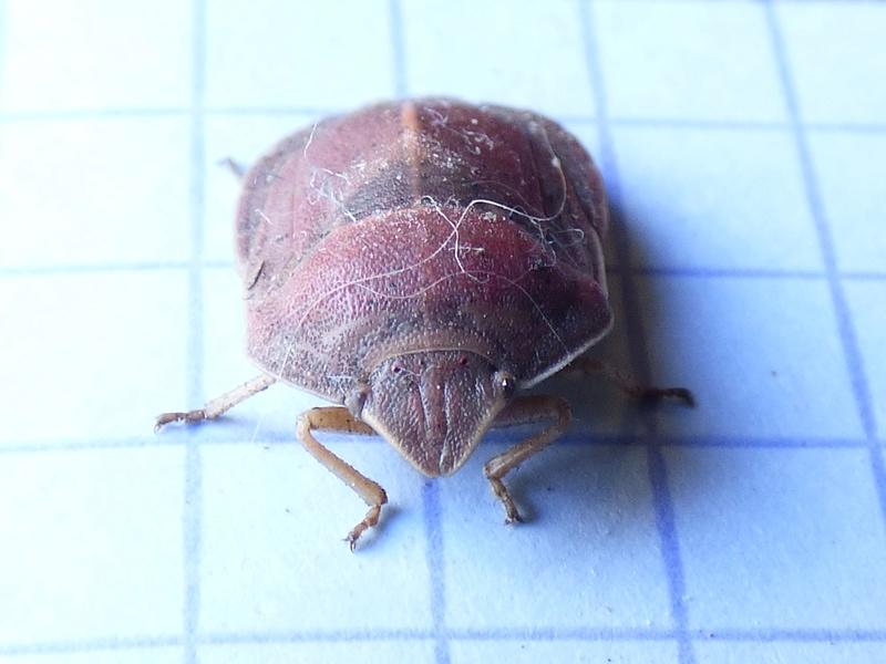 [Eurygaster austriaca] Eurygaster austriaca Euryga11