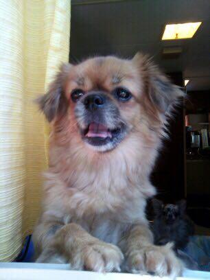Izzie épagneul du tibet , 4 ans pas ok chat Galga_10