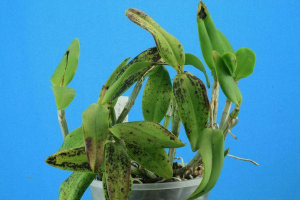 Cattleya forbesii :  soupçon de virose Cattle18